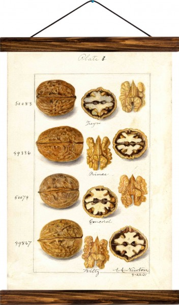 Vintage Lehrtafel  - Walnuts