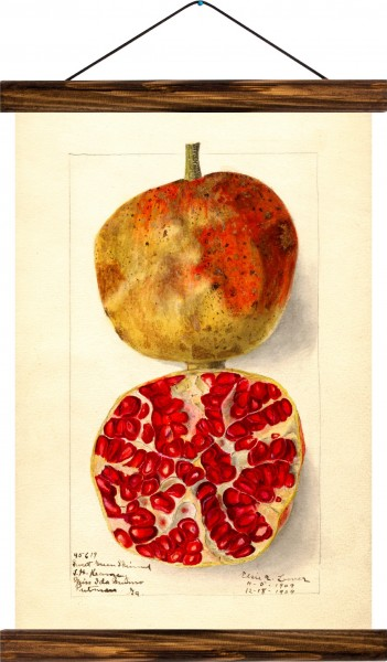Vintage Lehrtafel  - Pomegranate