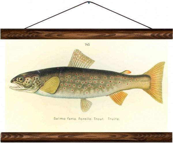 Vintage Lehrtafel  - Brown trout